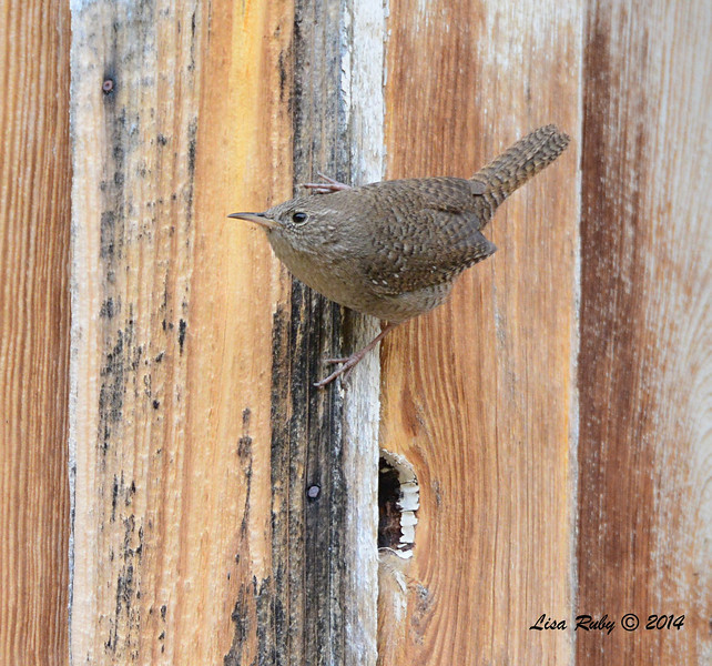 House Wren - 4/19/2014 - Ramsey Canyon, Sierra Vista, Arizona