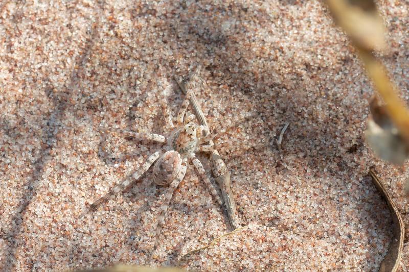 Arctosa littoralis Beach Wolf Spider Wisconsin Pt Superior WIIMG_0049296.jpg