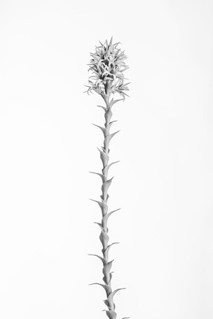 Sprengelia incarnata  You can purchase prints of this via the gallery at  https://gumbootsphotography.smugmug.com   © Fiona Gumboots  - All images are copyright . You know the rules. Don't steal. Remember to credit.  There is a blog and things about plants at www.thegumbootchronicles.com. You can also  purchase prints there too.
