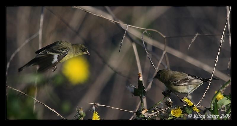 Lesser Goldfinch, La Jolla Cove, San Diego County, California, February 2009