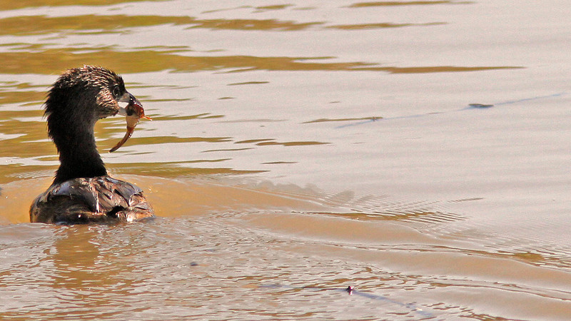Grebe with grub...