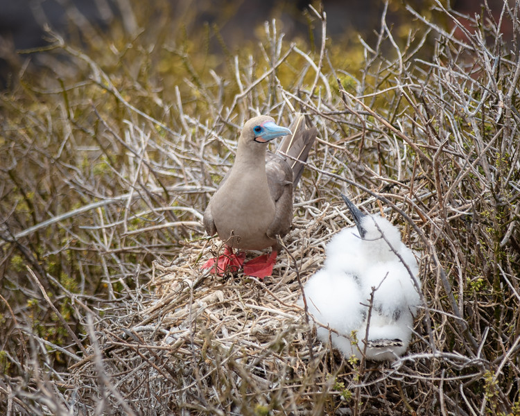 Red-footed Booby (Sula sula) with Chick