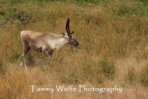 Caribou, Woodland