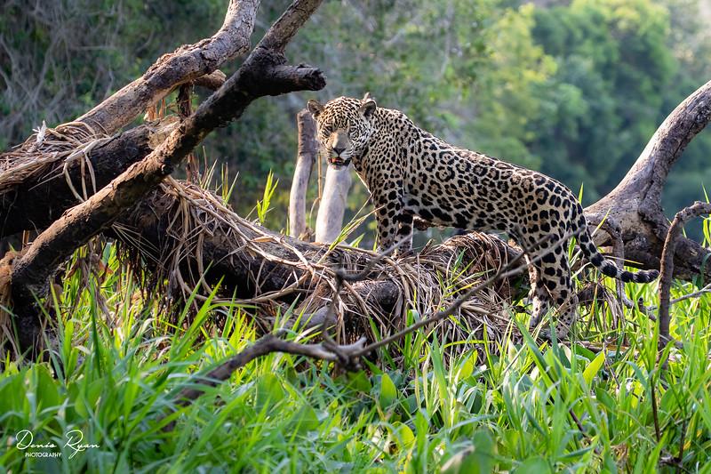 A Jaguar's Paradise