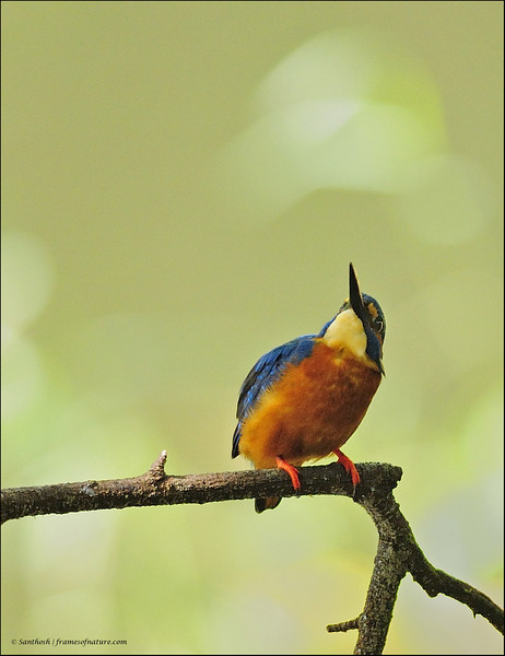 Common Kingfisher-06.jpg