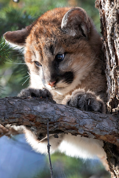 Mountain Lion Kitten close up.jpg