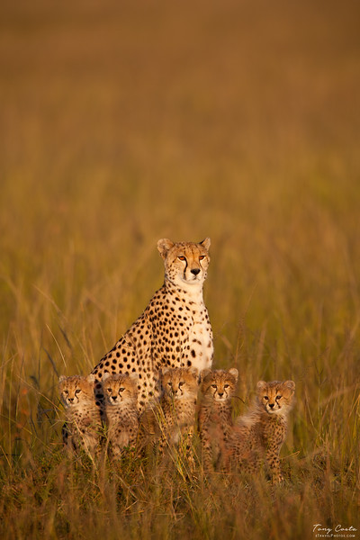 Cheetah and five cubs