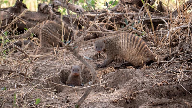 Tanzania-Tarangire-National-Park-Safari-Banded-Mongoose-01.jpg