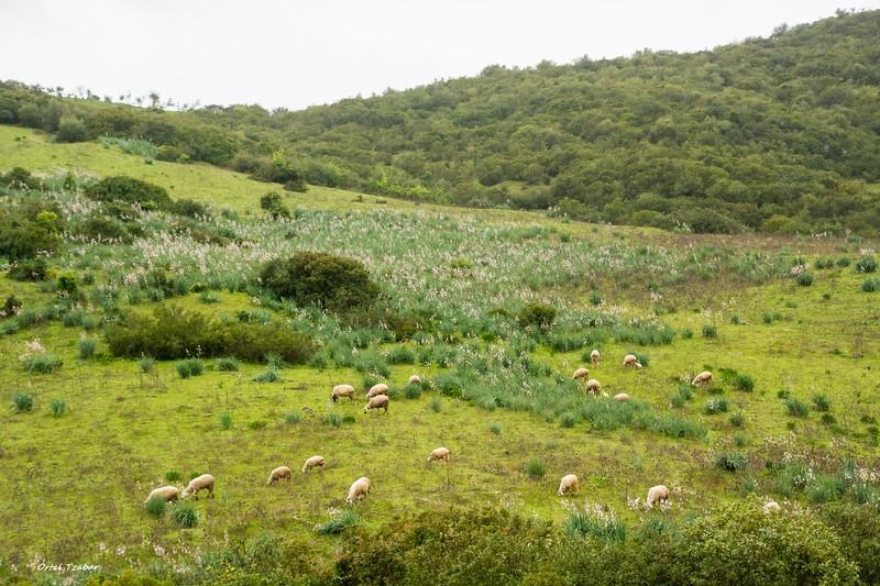 נוף ירוק 6 כבשים.jpg