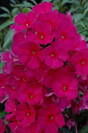 Phlox paniculata 'Sweet Summer Wine' (R) Met dank aan Huub van Dito Plants voor het gebruik van de foto