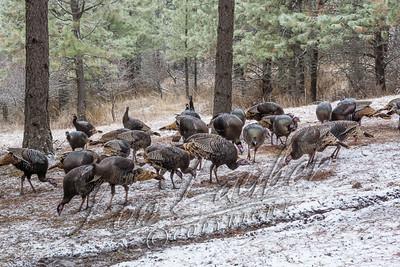 08012 Birds, turkeys