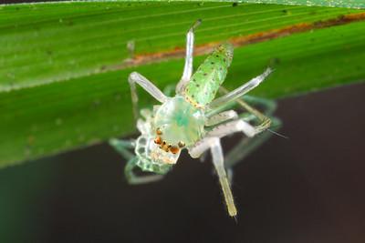 genus Cetratus
