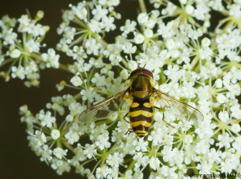 Syrphid fly (Syrphidae: Syrphinae: Syrphini) on Queen Anne's Lace, Daucus carota (Iowa, USA).