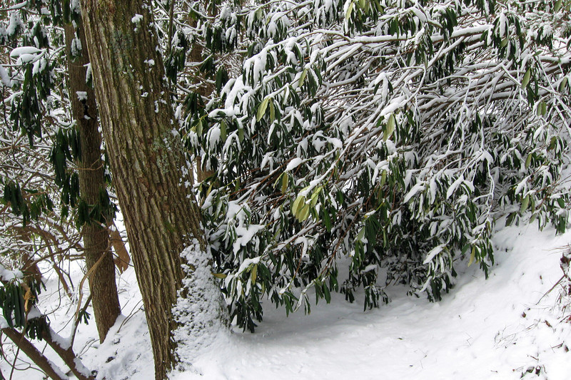 The weight of the snow on this rhododendron had created a rather difficult obstacle...