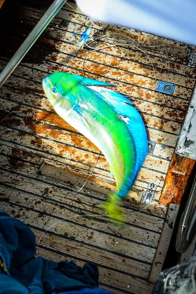 Mahi Mahi sailboat fish tacos Pacific Ocean-2.jpg