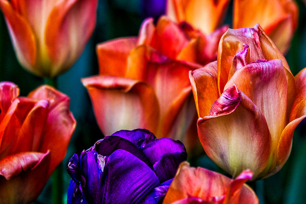 April 14 - Tulips in Washington DC.jpg