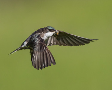 Sparrows - Swallows