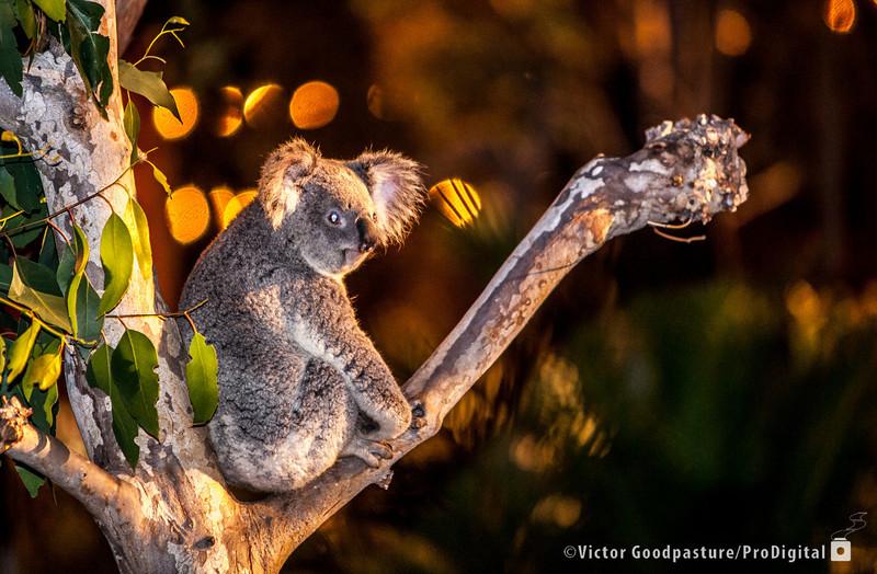 Koalafornia-53.jpg
