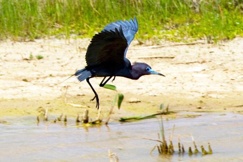 A little blue heron taking flight, Brays Bayou near Buffalo Bayou, Houston