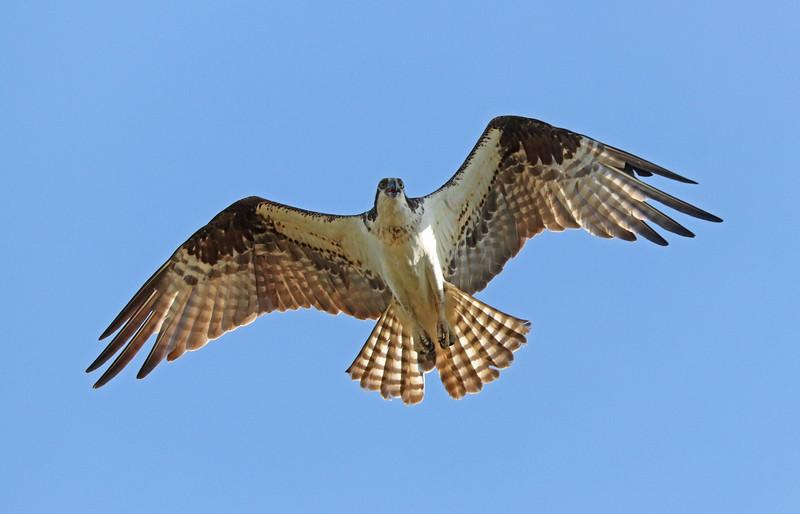 osprey 518.jpg