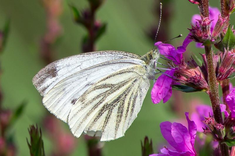 1408_Witte vlinder-0900.jpg