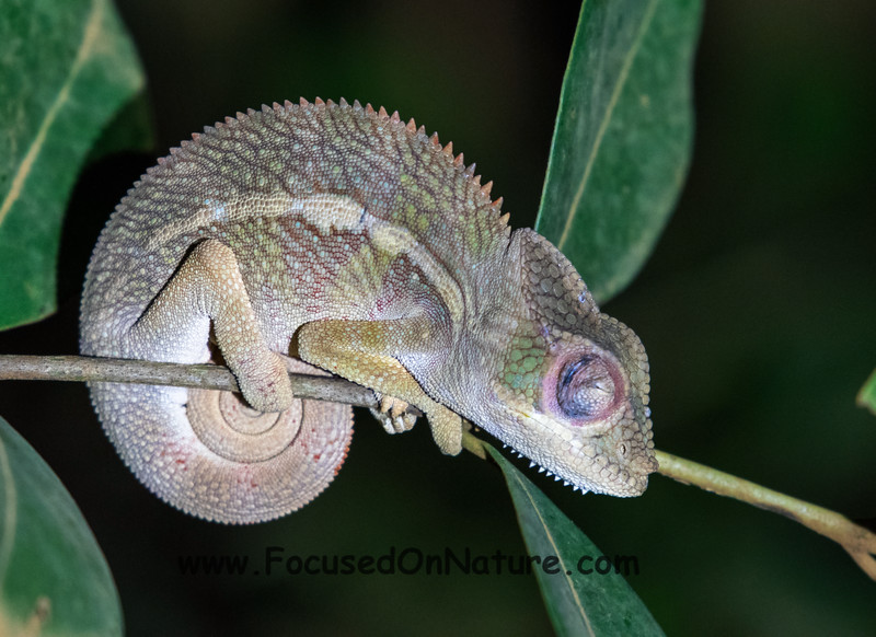Sleeping Panther Chameleon