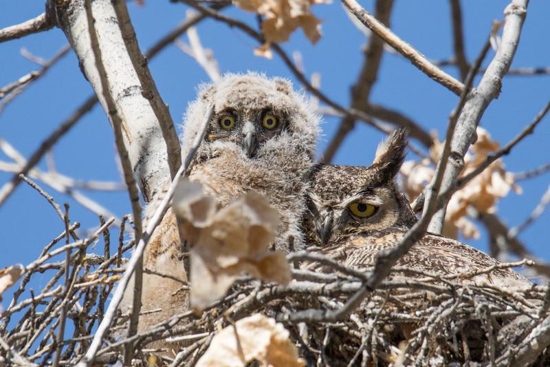 Great Horned Owls Spring 2019-1.jpg