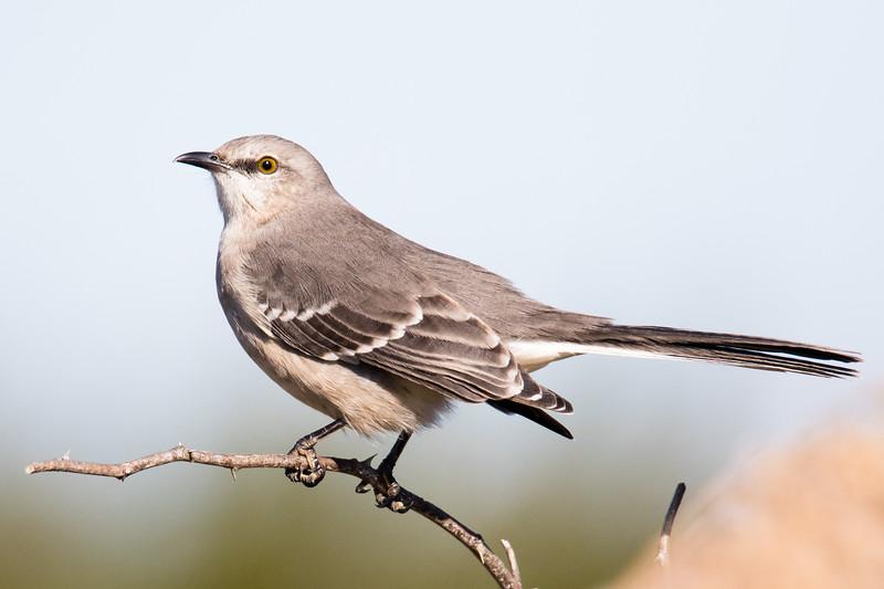 Mockingbird Cape May 2019-1.jpg