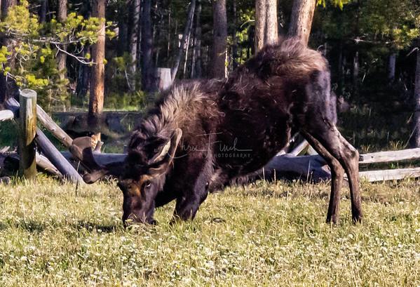 Two Young Bull Moose in the High Uintas, Utah