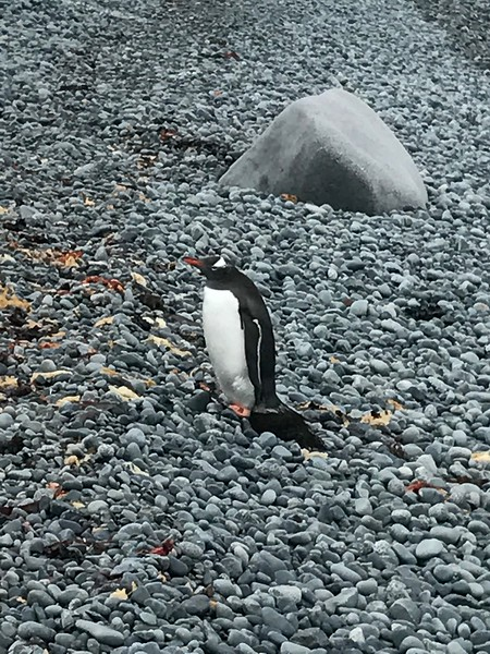 Penguin siting - Jennifer Caputo