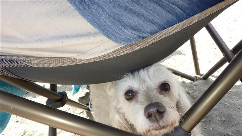 Chai found shade at Monte Rio beach by sitting under my chair.