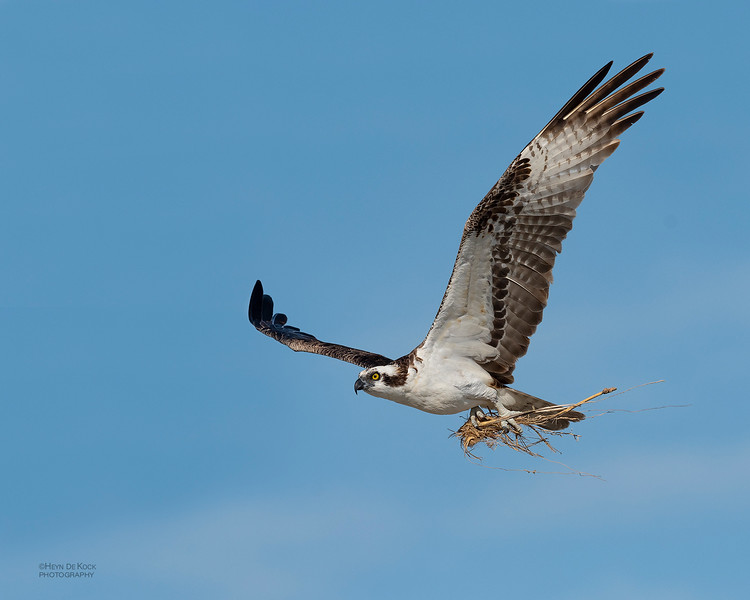 Western Osprey, Fort De Soto, St Petersburg, FL, USA, May 2018-4.jpg