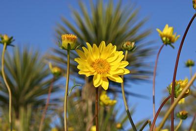 Torrey Pines Wildflowers- April 2010