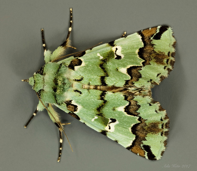 Epicyrtica metallica T.P. Lucas, 1898 (Erebidae)