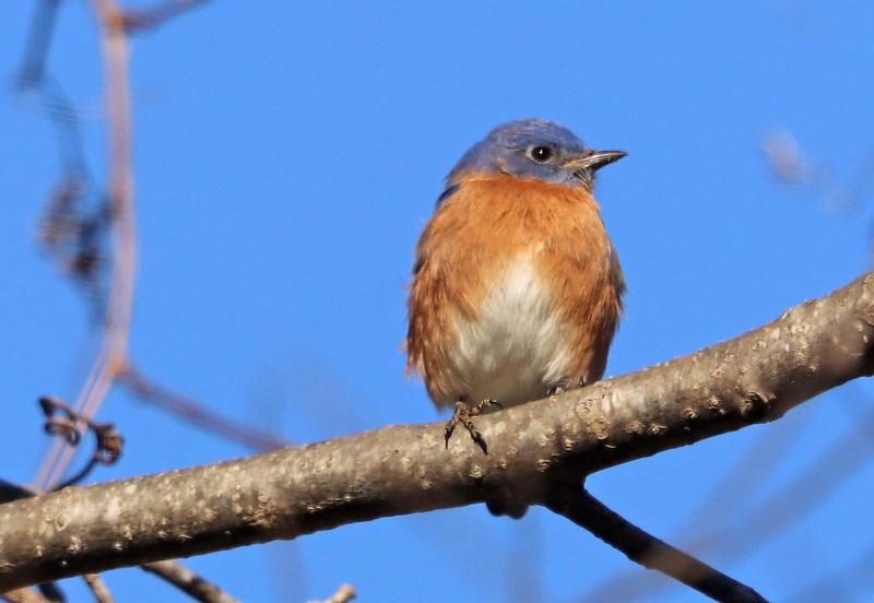 Bluebird 12