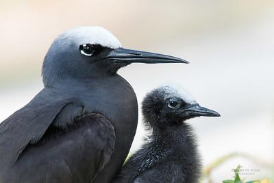 Gulls, Terns & Skimmers (Laridae)