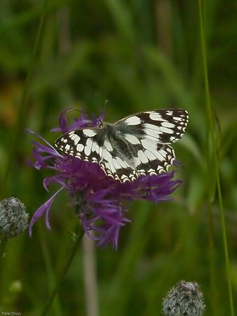 Marbled White ( Melanargia galathea)
