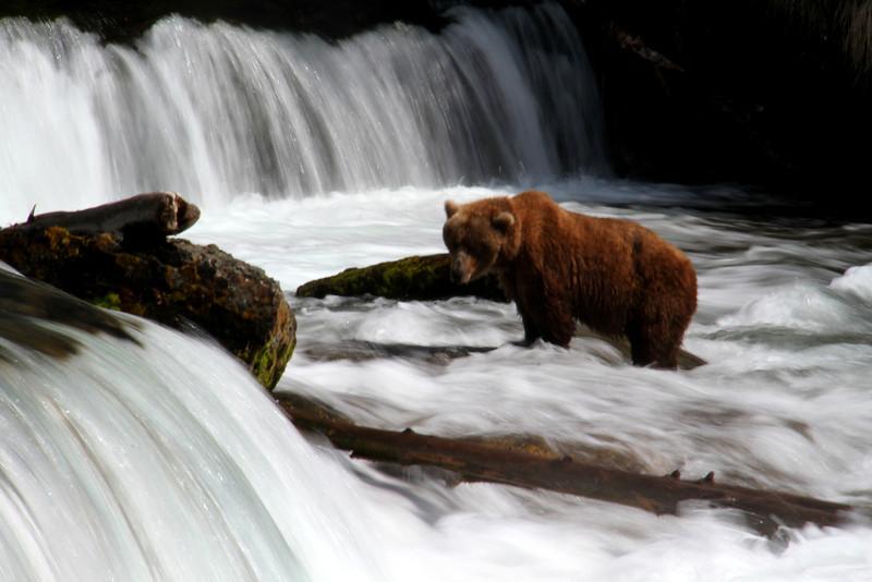Katmai Bear1.jpg