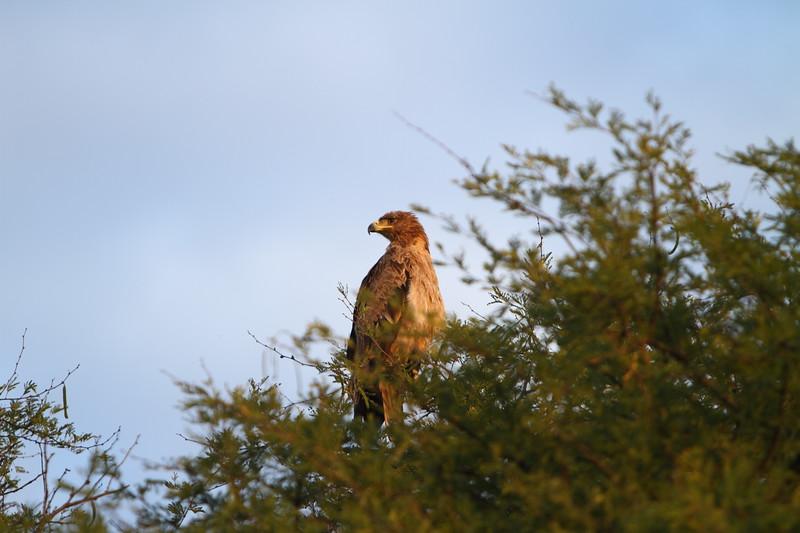 Tawny Eagle.JPG
