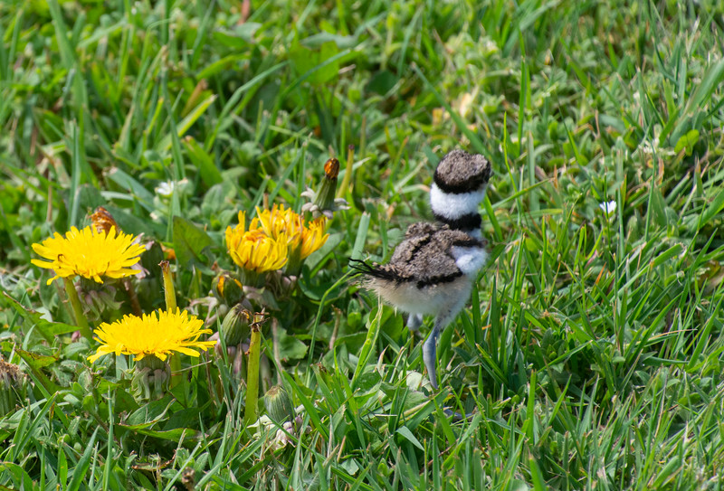 Killdeer-fledgling-dadylion-Pickle.jpg