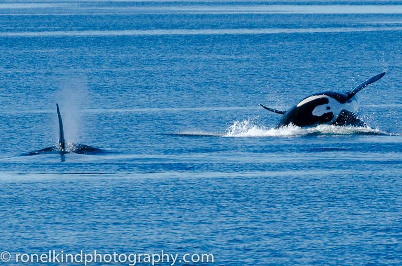 Killer whale breaching.