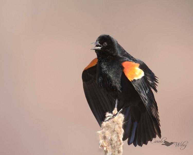rw blackbird cr.jpg