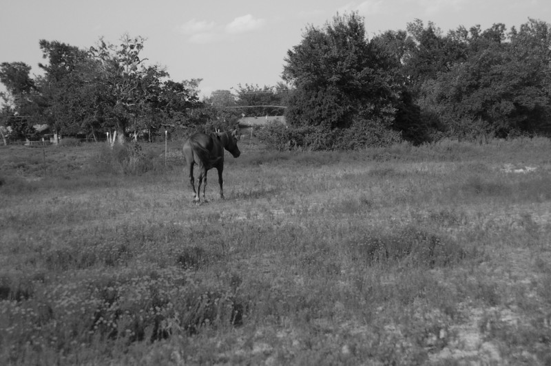 horse black and white.jpg