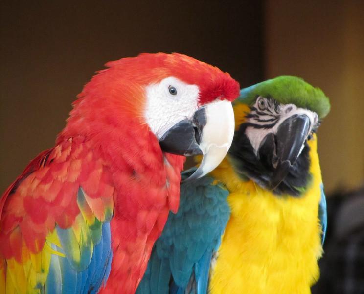Parrots, Hilton Waikoloa