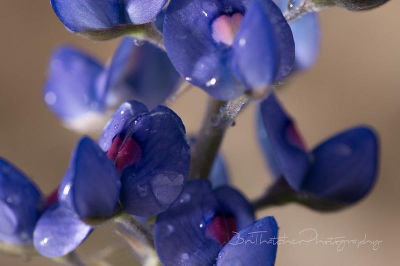 Bluebonnetmacro-1.jpg