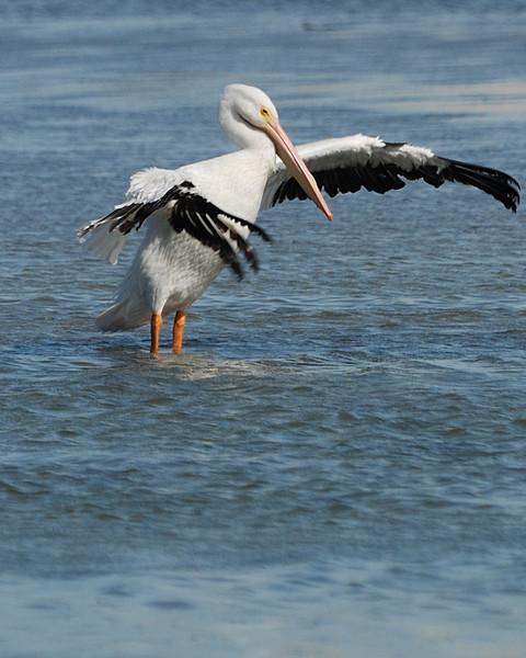 White Pelican - Corpus Christi