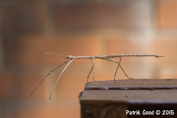 Various Stick Insects