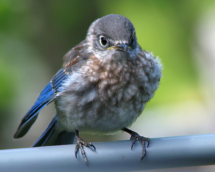 bluebird_fledgling_1393.jpg