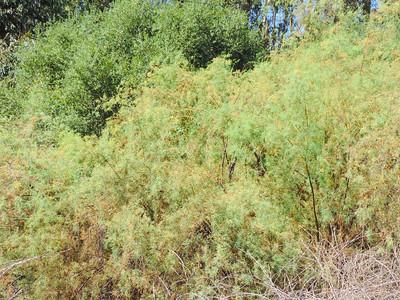 Saltcedar (Tamarix ramosissima)