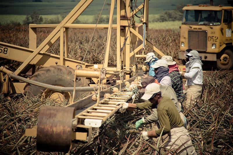 pineapple workers5.jpg